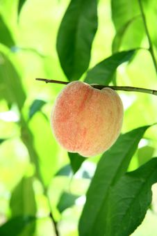 Free Peach Royalty Free Stock Photo - 20673555