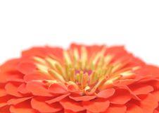 Free Zinnia Elegans Royalty Free Stock Image - 20674576