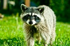Free Curious Coon Stock Photos - 20674643