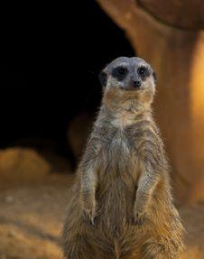 Free Fat Meerkat Looking Royalty Free Stock Photos - 20674878