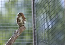 Free Ferruginous Pygmy Owl Stock Photo - 20675450
