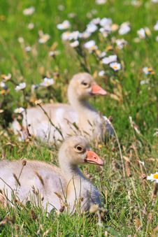 Free Youngsters Of White-fronted Goose Stock Image - 20675951