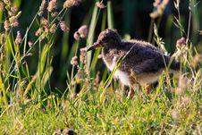 Free Juvenile Oyster-catcher Bird Royalty Free Stock Photos - 20675958
