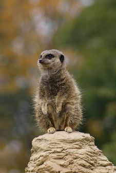 Free Meerkat Royalty Free Stock Images - 20675999