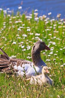 White-fronted Goose With Youngsters Royalty Free Stock Photos
