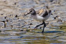 Free White Avocet Bird Walking Near Water Royalty Free Stock Photos - 20676178