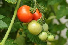 Free Tomatoes On The Vine Royalty Free Stock Photos - 20676628