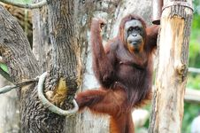 Free Gorilla At The Zoo Royalty Free Stock Image - 20676826