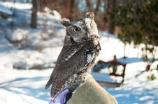 Free Owl Royalty Free Stock Photos - 20677248