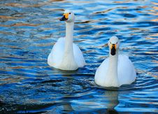 Free Swan Royalty Free Stock Images - 20677569