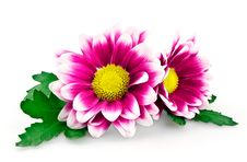 Free Bright Purple Chrysanthemum Royalty Free Stock Image - 20678246