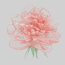 Free Peony Stock Images - 20679364