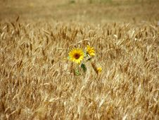 Free Sunflowers Stock Photos - 20679593