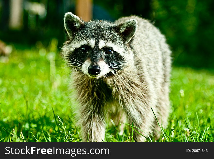 Curious Coon