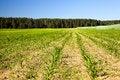 Free Corn Field Royalty Free Stock Photography - 20680107