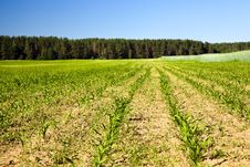 Free Corn Field Royalty Free Stock Photography - 20680107