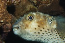 Free Porcupine Fish Getting Cleaned Royalty Free Stock Images - 20680429