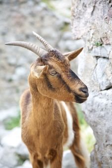 Free Goat At Gorge Of River Cares Stock Photo - 20681950
