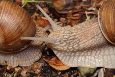 Free Two Snails (macro) Creep Towards Each Other Stock Photos - 20682223