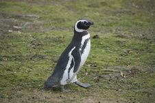 Free Penguin Royalty Free Stock Photography - 20685937