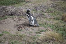 Free Penguin Stock Image - 20685981