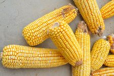 Free Corn Royalty Free Stock Image - 20686686