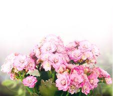 Free Pink Kalanchoe Background Royalty Free Stock Photography - 20688297