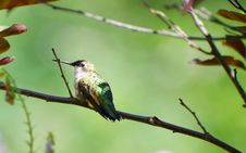 Free Hummingbird At Rest. Stock Photo - 20689080