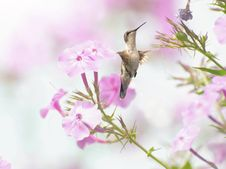 Free Female Ruby Throated Hummingbird. Stock Photography - 20689732