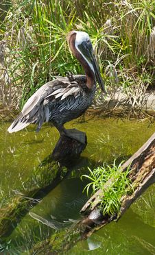 Free Brown Pelican. Royalty Free Stock Photo - 20689985