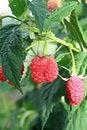 Free Bright Big Red Raspberries Royalty Free Stock Photos - 20691468