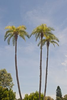 Free Tall Palm Trees Stock Photography - 20690162