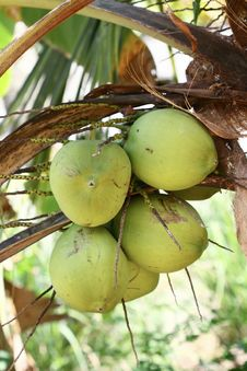 Free Coconuts Royalty Free Stock Photo - 20690795