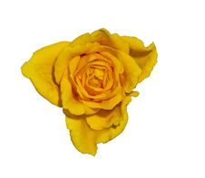 Free Yellow Rose. Stock Images - 20691034