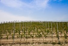 Free Barbera Vineyard - Italy Stock Photo - 20691850