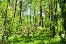 Free Wind-fallen Trees Royalty Free Stock Photography - 20691867