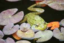 Frog Floating In Pond