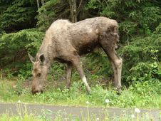 Free Moose Eating Stock Images - 20693394