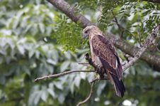 Free Juvenile Brahminy Kite Royalty Free Stock Image - 20693426
