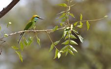 Free Bee Eater On A Branch Stock Photo - 20693490
