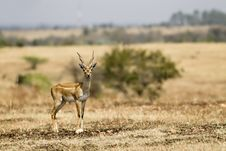 Free Black Buck Royalty Free Stock Photography - 20693507