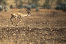 Free Running Antelope Stock Images - 20693514