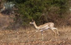 Free Running Black Buck Stock Image - 20693521