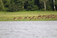Free Deer Herd On Riverbank Royalty Free Stock Images - 20693589