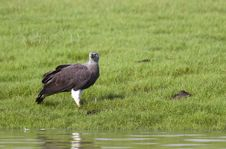 Free Grey Headed Fish Eagle Royalty Free Stock Images - 20693609