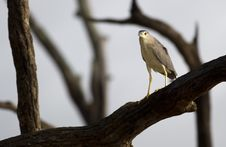 Free Juvenile Night Heron Royalty Free Stock Photos - 20693618