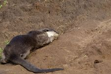 Free Smooth Coated Otter Stock Image - 20693641