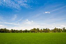 Free Green Rice Farm Stock Image - 20693871
