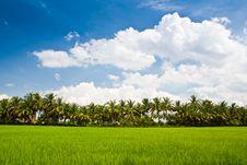 Free Green Rice Farm Stock Photos - 20693903