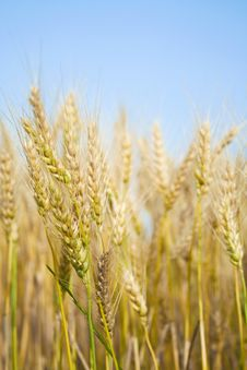 Free In A Wheat Field Stock Image - 20695631